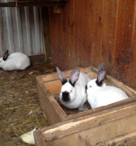 Калифорнийские кролики на племя