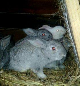 Месячные  и старше Кролики.