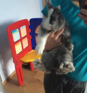 Кролик декоративный, СРОЧНО!!!