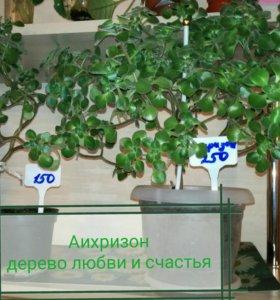 Аисхризон(дерево любви и страсти)