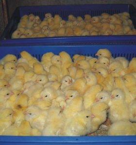 крупные цыплята фабрики Лебяжье