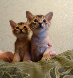 котята порода абисинская