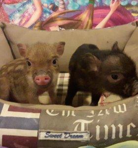 Карликовые свинки минипиги