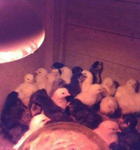 Цыплята 10 дней им и куры