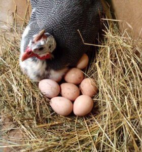 Яйца на инкубацию