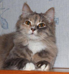 Кошка в добрые руки Майя, кошка в дар