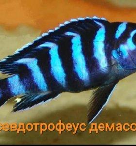 псевдотрофеус демасони