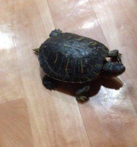 Красноухая черепаха 300 р