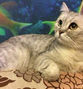 Кошка-британка