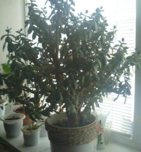 Толстянка (денежное дерево) 90см