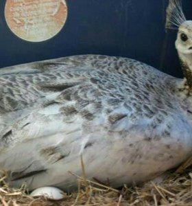 Инкубационный яйца павлина