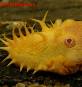 Самец анциструса альбинос