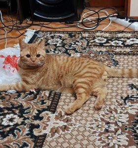 Прямоухий красавец ищет кошку для вязки