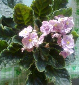 фиалки махровые розово-сиреневые-Крупные детки