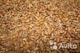 """пшеница озимая мягкая сорт """"Скипетр"""""""