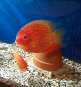 Аквариумные рыбки.Северум красноточечный.