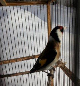 Продам Щеглов , Чечёток ,клетки ,ловушки для птиц