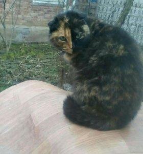 Кошка вислаухая породистая