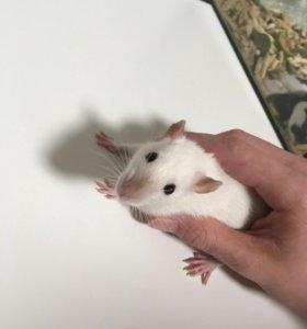 Породистые крысята!