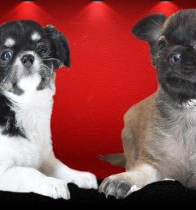 Продам щенков длинношерстного чихуахуа.