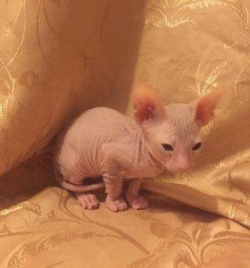 Котята петерболд