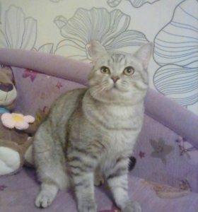 Кот молодой британец ждёт в гости кошечку