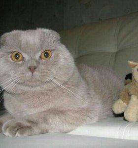Вязка кот вислоухие котята