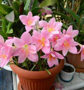 Зефирантес розовый и белый