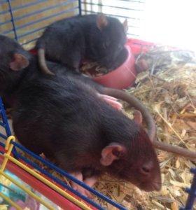Крыски девочки