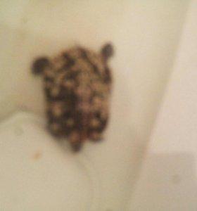 Болотная красноухая черепаха