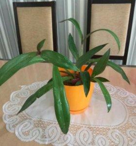 Комнатное растение, Рео.