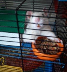Крыс редкого окраса