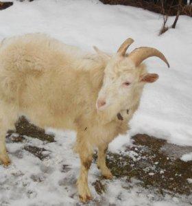 Продается коза и козел