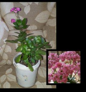 Каланхоэ розовое