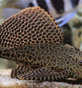 Взрослые аквариумные рыбки