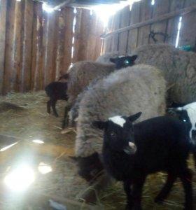 Овцы(ярочки)