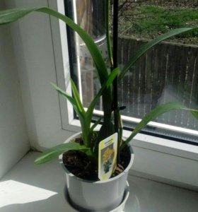 Орхидея оксидиум