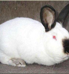 Кролики 2-ух пород, Калифорнийские и Серебро (БСС)