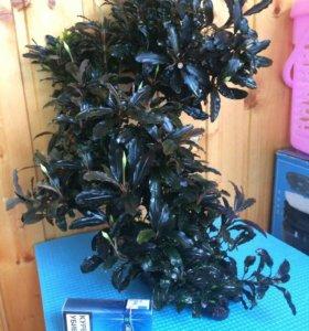 bucephalandra sp. cherish 3