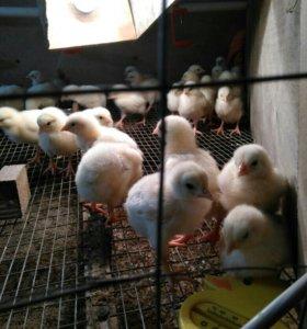 Цыплята-броллера