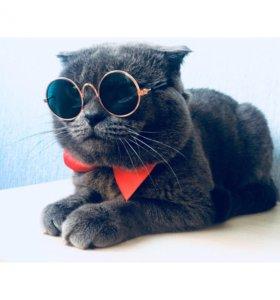 Шотландский Котик ищет породистую кошечку)