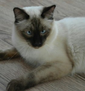 Котята меконгского бобтейла