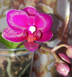 Орхидея миди