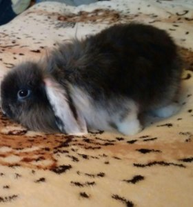 Кролик-вислоухий баран