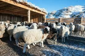 Овцы и бараны живьем, для разведения либо на мясо