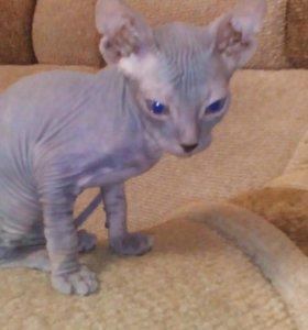 Котёнок сфинкс