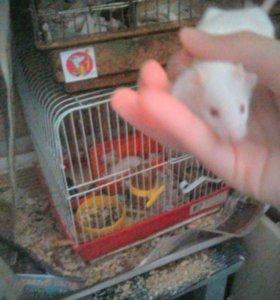 Белые мышки