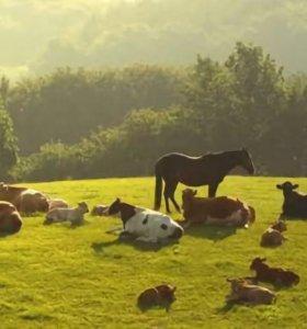 Коровы и бычки.