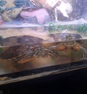 Черепахи Красноухие 2012 года рождения