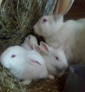 Кролики от месяца и старше